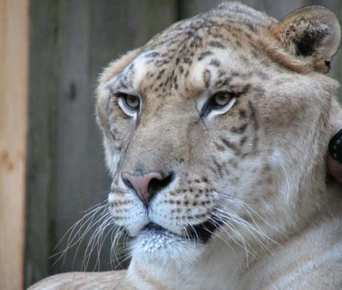 Лигр - самая большая кошка в мире