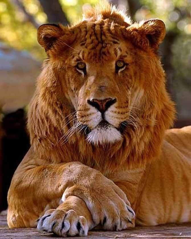 Леопоны - помесь львов и леопардов