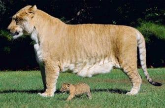 Большой кот Лигер