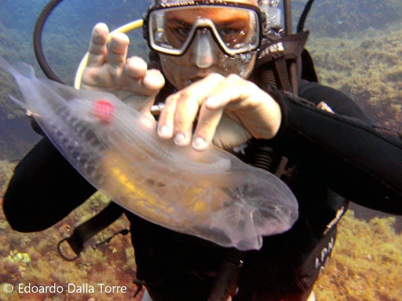 Прозрачное морское существо – Сальпа Маджоре